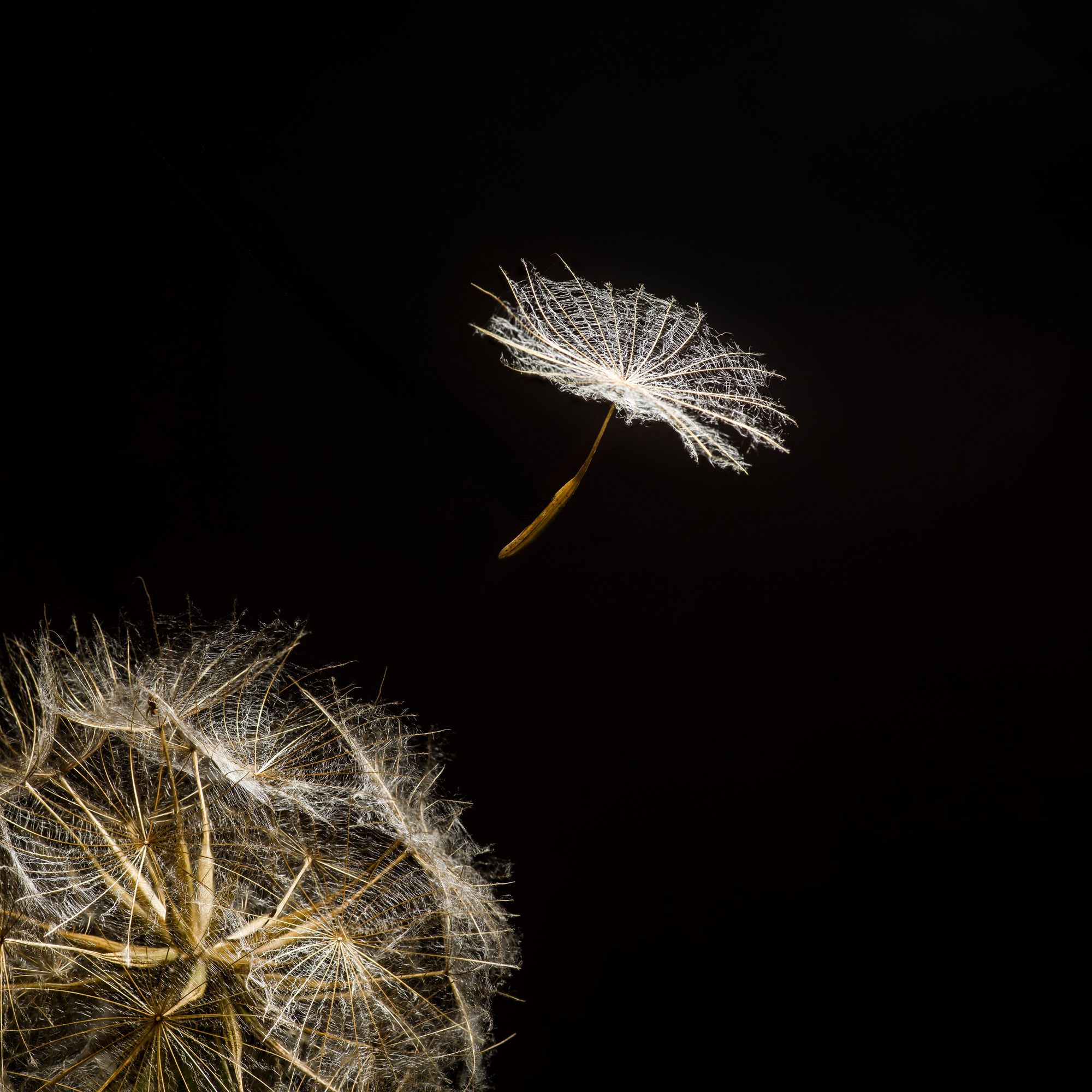 seed of Salsify-Tragopogon pratensis